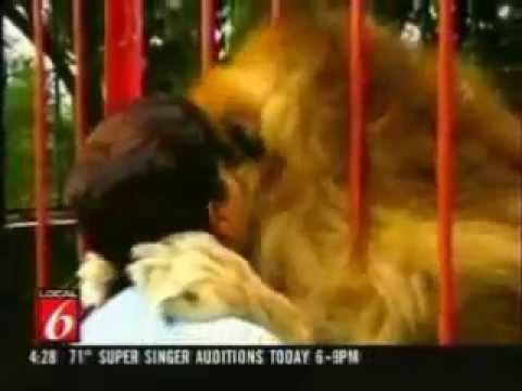 Veja a reação de um Leão adulto reencontrando a senhora que o criou - Incrível