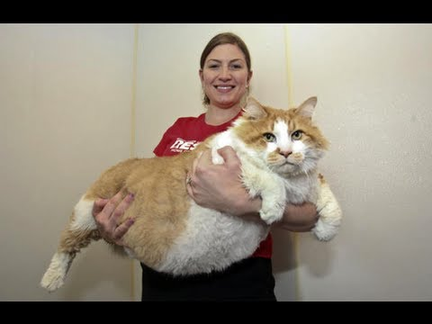 Fattest Cat in the World: Massive Moggie Garfield Takes The Title Of World's Fattest Cat, Fattest Cat in the World: Massive Moggie Garfield Takes The Title Of World's Fattest Cat SUBSCRIBE: http://bit.ly/Oc61Hj First there was Sponge Bob, the ging...