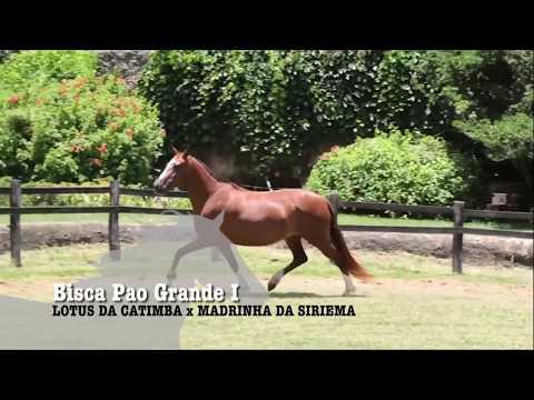 ÉGUA DA SEMANA - BISCA PAO GRANDE I - MANGALARGA MARCHADOR