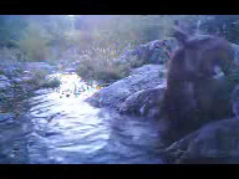 FAST streamside video  bobcat kills couse fawn