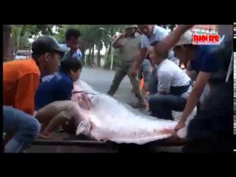 Cá Tra Dầu Khủng Nặng Gần 230 Kg Về Hàng Dương Quán