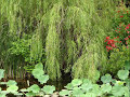 WEEPING WILLOW TREE CLINCH MOUNTAIN SWEETHEARTS