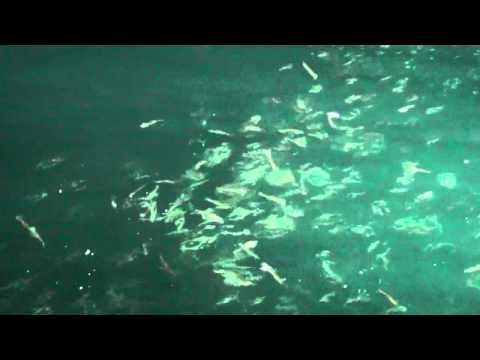 mancing Cumi-cumi (calamar)