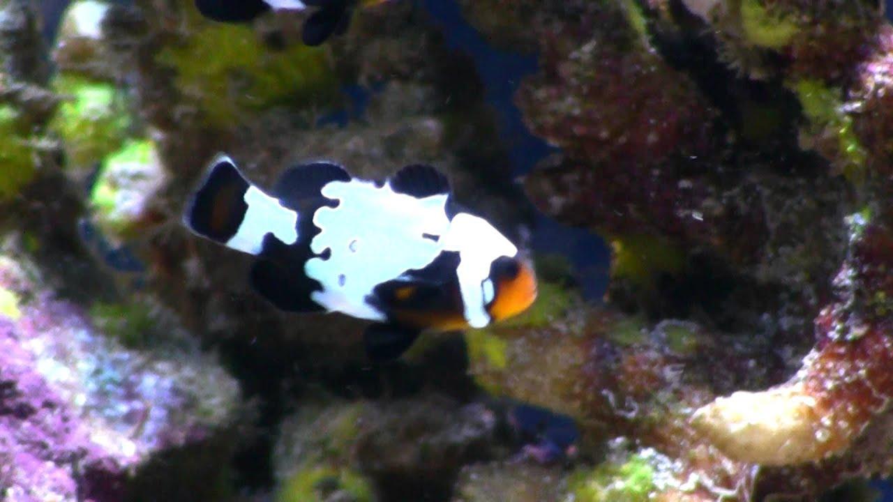 Black picasso clownfish