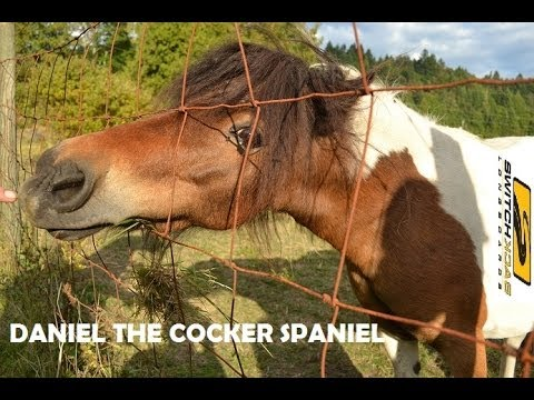 Daniel the Cocker Spaniel