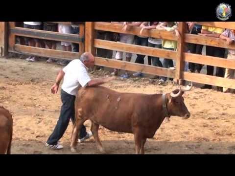 Vaca brava se deja acariciar por su dueño tras la capea de recortes.wmv