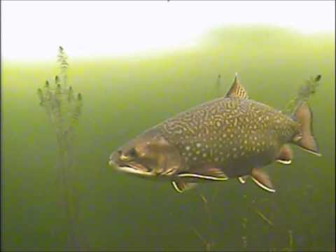 Monster Brook Trout - Underwater Ice Fishing