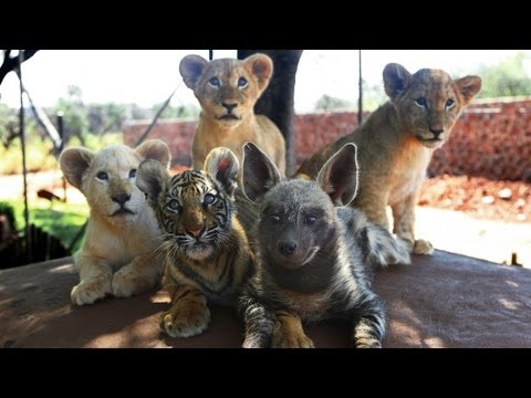 Baby Animals: Baby Lion, Baby Tiger  & Baby Hyena Cub Animal Cuteness!