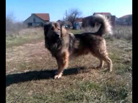 Qeni i sharrit shapi