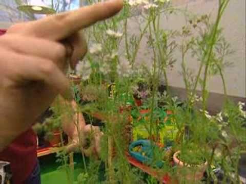 Bricoman a jardiner a cultivo del cilantro en casa youtube - Bricomania jardineria ...