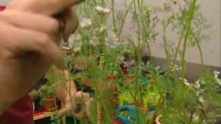 Cultivo del cilantro en casa