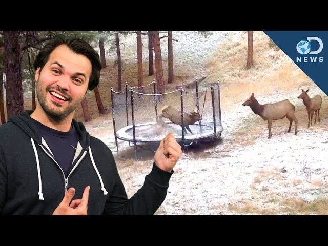 Elk on Trampoline: Why Animals Play
