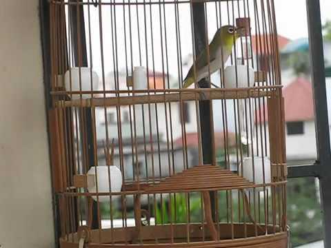Sam Abdul - تغريد طائر ابيض العين الياباني  ميجيرو