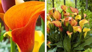 How To Grow Zantedeschia: Jeff Plants Calla Lilies Into