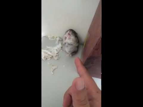 Adorable Hamster gets Shot and pretends to be dead