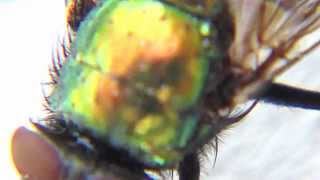 [Golden Green House Fly as Never Seen Before] Video