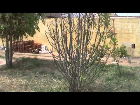 Janaúba- planta para câncer