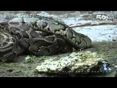 Trăn khổng lồ nuốt chửng cá sấu.flv