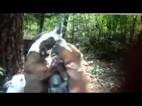 0 Pit Bull Fight