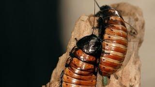 8 Madagascar Hissing Cockroach Facts Pet Tarantulas