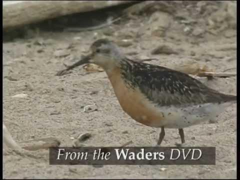 Waders: Europe, Asia & N America