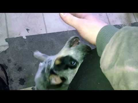 Moki throws a fit. Cute 3 month old Australian Cattle Dog pup has a tantrum