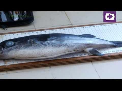 السمك الارنب البري في الجزائر le poisson lièvre