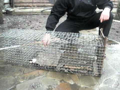 Ловушка на крыс своими руками