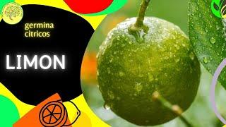 Preparación de semillas de limón para que germinen