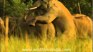 Elephants mating!