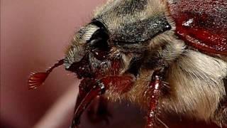 Mayıs Böceği