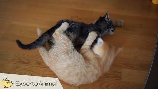 Gatos peleando como locos