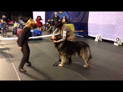 Tallin Winner 2013 Dog Show Caucasian Shepherd Dogs