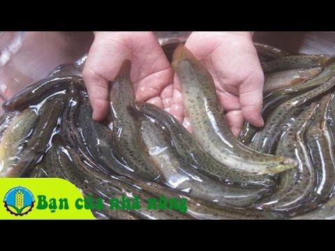 Mô hình, kỹ thuật nuôi cá chạch bùn đạt hiệu quả kinh tế cao