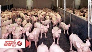 Xử lý hình sự người dùng chất tạo nạc nuôi lợn | VTC