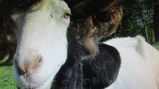[Jon Snow Game of Thrones aka Goat of Thrones] Video