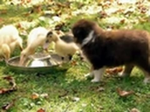 Puppies Herd Ducklings | Too Cute