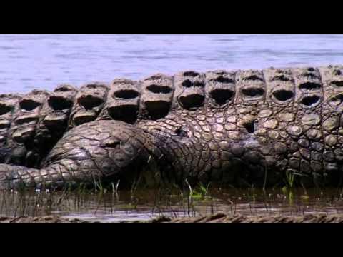 Das größte Krokodil der Welt