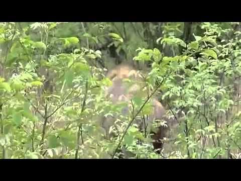 Bầy sư tử đực xé xác linh cẩu