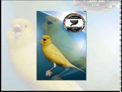 Canaryfansclub - cd canary songs - (chants) - شريط كامل تغريد الكناري