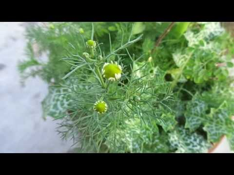 Chamomile (Matricaria chamomilla L.) Cultivation Flower After 45 days