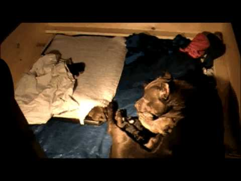 7 Pit bull puppies (live Birth)