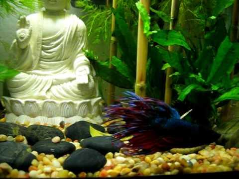 Betta swimming in my zen buddha rock garden aquarium youtube for Zen fish tank