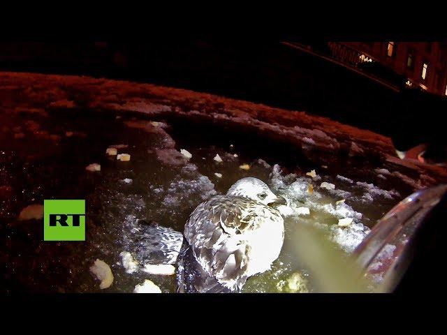 VIRAL: El rescate de una gaviota con las patas congeladas