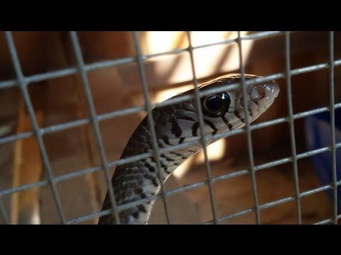 Nuôi rắn long thừa hay còn gọi là rắn ráo trâu, rắn hổ hèo, hổ vện