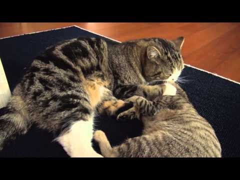 ケンカ遊びなねこ。-Battle play of Maru and Hana.-