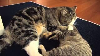 Maru the Cat vs Hana the Kitten