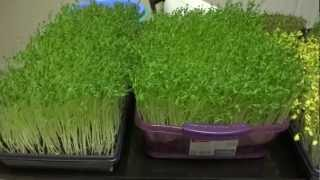 Pea Sprouts, Broccoli Sprouts, Sunflower Sprouts, Radish