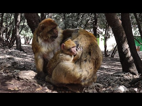 FUNNY MONKEYS GROOMING EACH OTHER
