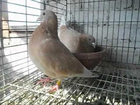 Yellow Race Pigeons For sale حمام زاجل أصفر للبيع